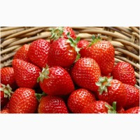 Полуниця Кимберли (Kimberly Strawberry) саджанці полуниці Фріго