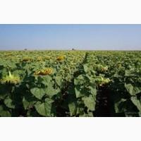 Семена подсолнечника от АГРОЕМГА Форвард