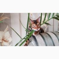 Бенгальская кошка. Купить бенгальского кота. Днепр