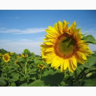 Гібрид соняшнику Олівер/насіння соняшнику