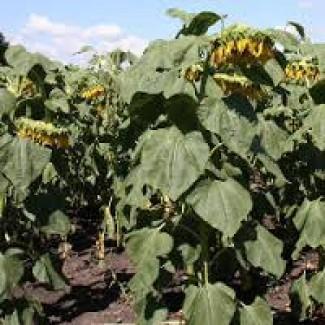 Семена подсолнечника от АГРОЕМГА Златсон