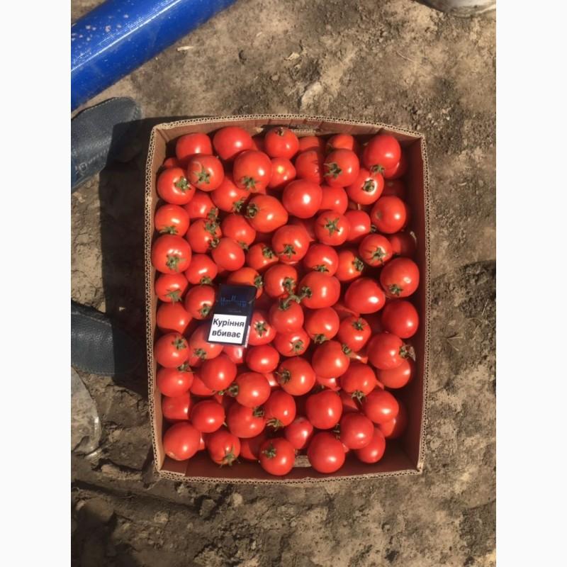 Фото 2. Продам помидор оптом