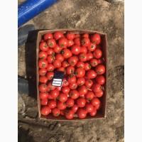 Продам помидор оптом
