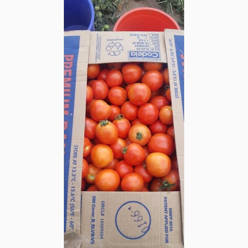 Фото 6. Продам помидор оптом