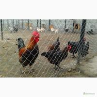 Инкубационные яйця кур породы Маран