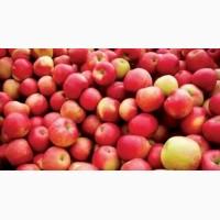 Продам яблоки оптом из холодильника