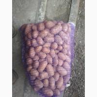Продам картофель посадчный картофель от производителя