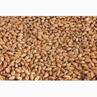 Оптові закупівлі зернових культур (кукурудзи, соняшнику, пшениці, сої та ін.)