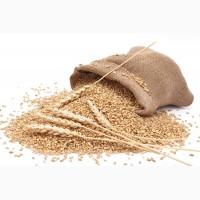 Агропредприятие закупает оптом зерновые культуры (кукуруза, подсолнечник, пшеница и др.)