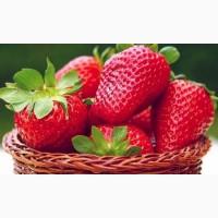 Полуниця Крістіна ( Cristina Strawberry) саджанці полуниці Фріго
