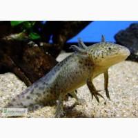 Звере-рыбка - аксолотль серый Доставка