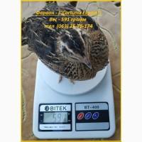 Яйца инкубационные перепела Фараон (Espana)