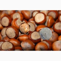 Продам саженцы ореха Фундук Трапезунд отводки 2 х летки 150 гр