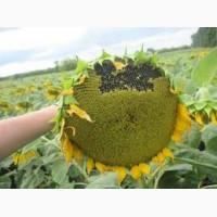 Семена подсолнечника от АГРОЕМГА Белла Евралис