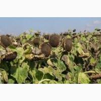 Семена подсолнечника от АГРОЕМГА