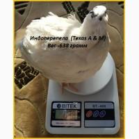 Яйца инкубационные индоперепела