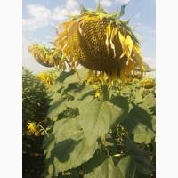 Семена подсолнечника СИ Купава под Круизер