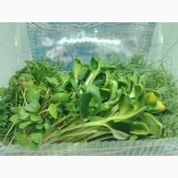 Продам микрозелень оптом