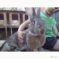 Племенные кролики: Бельгийские великаны - Оберы, Фландры