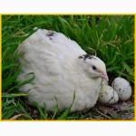 Яйца инкубационные перепела Техасец - бройлер и молодняк
