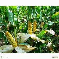 Моника 350 МВ гибрид кукурузы молдавская селекция