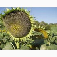 Семена подсолнечника Ирими Irimi Clearfield
