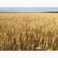 Пшениця озима ЗЛАТОГЛАВА, насіння плениці