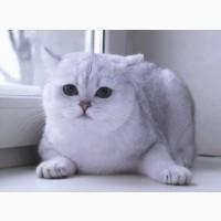 Вязка с котом Серебристым шиншиллой ВRI пs11