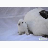 Продаж кроликів Техаський білий, Панон, Термонський білий, Рекс-кастор