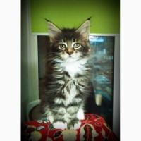 Мейн-кун, котята чистокровные