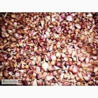 Чеснок продажа оптом Семена - однозубка и воздушка