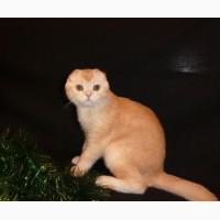 Рыжий тикированный шотландский вислоухий котенок по кличке Оскар, окрас ds 25. Характер