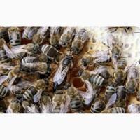 Бджоломатки карпатки - пчеломатки карпатки
