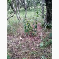 Продам сухой корень Норичника(Ранника)узловатого или Норичник шишковидный