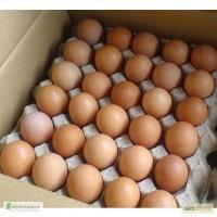 Продам Яйцо инкубационное куриное - Фокси Чик (Foxy Chick)