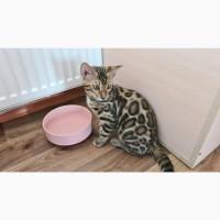 Бенгальский кот купить Украина