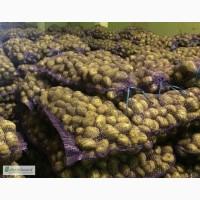 Продам картофель оптом 1, 2 сорта