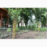 Живе плетене дерево Зелена Корона (датське коріння)
