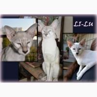 Сиамо-ориентальные котята, Киев