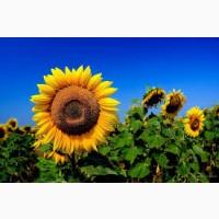 Семена подсолнечника СИ Купава устойчивые к заразихе (засухе) 7 рас