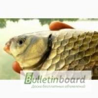 Продам живую рыбу оптом - карп, толстолобик, карась, плотва, судак щука