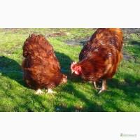Инкубационные яйця кур породы Орпингтон Шоколадный