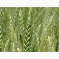 Насіння озимої пшениці Подолянка (Реалізуємо від 1т.)