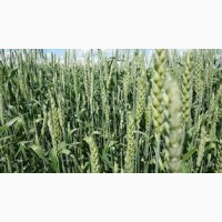 Озимая пшеница Мирлена