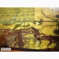 Аквариумные испанские тритоны с доставкой