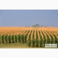 Почаевский 190 МВ ранний засухоустойчивый гибрид кукурузы