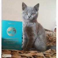 Клубный котенок породы Scottish Straight, 3 мес, с международным паспортом