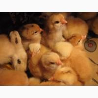 Домашние чистокровные цыплята мясо-яичных пород курей