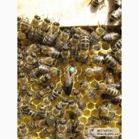 Пчёлы: Карпатка. Пчелопакеты 2020 г. Пчелиные плодные матки. Доставка по Украине
