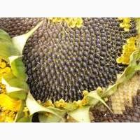 Посівний матеріал соняшнику гібриди Осман і Альварез (під євро-лайтнінг)